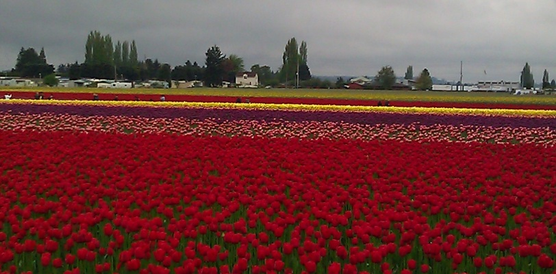 Tulip valley