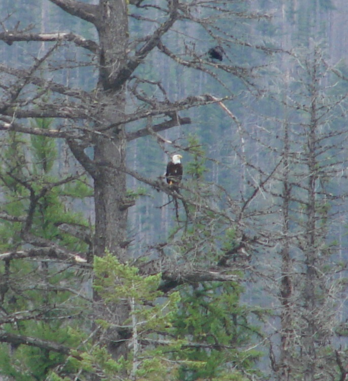 2015-07-17 eagle in tree