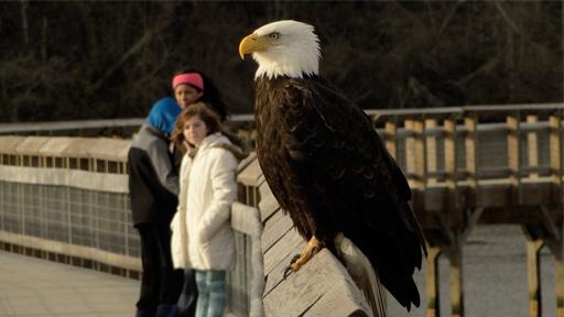bald-eagle-512x288r